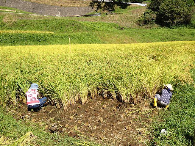 子どもが二人、稲刈りをする様子。黄金色の秋の田んぼ