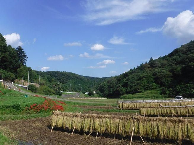 稲架がけとヒガンバナと青い空。