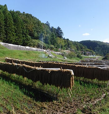 10月の田んぼの風景。稲架がけされた稲。