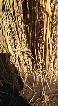 乾燥した稲束のアップ。