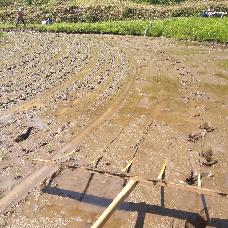 泥の田に木でできた線引き棒で、線を引く