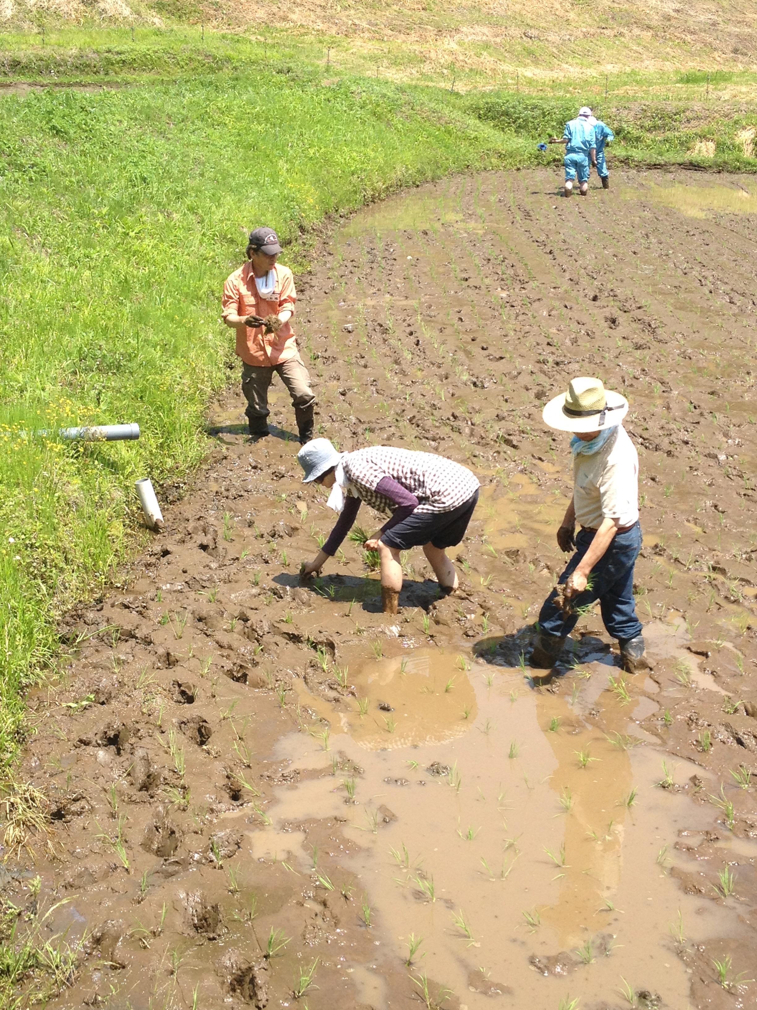 田植えする女性。泥に足をつけている