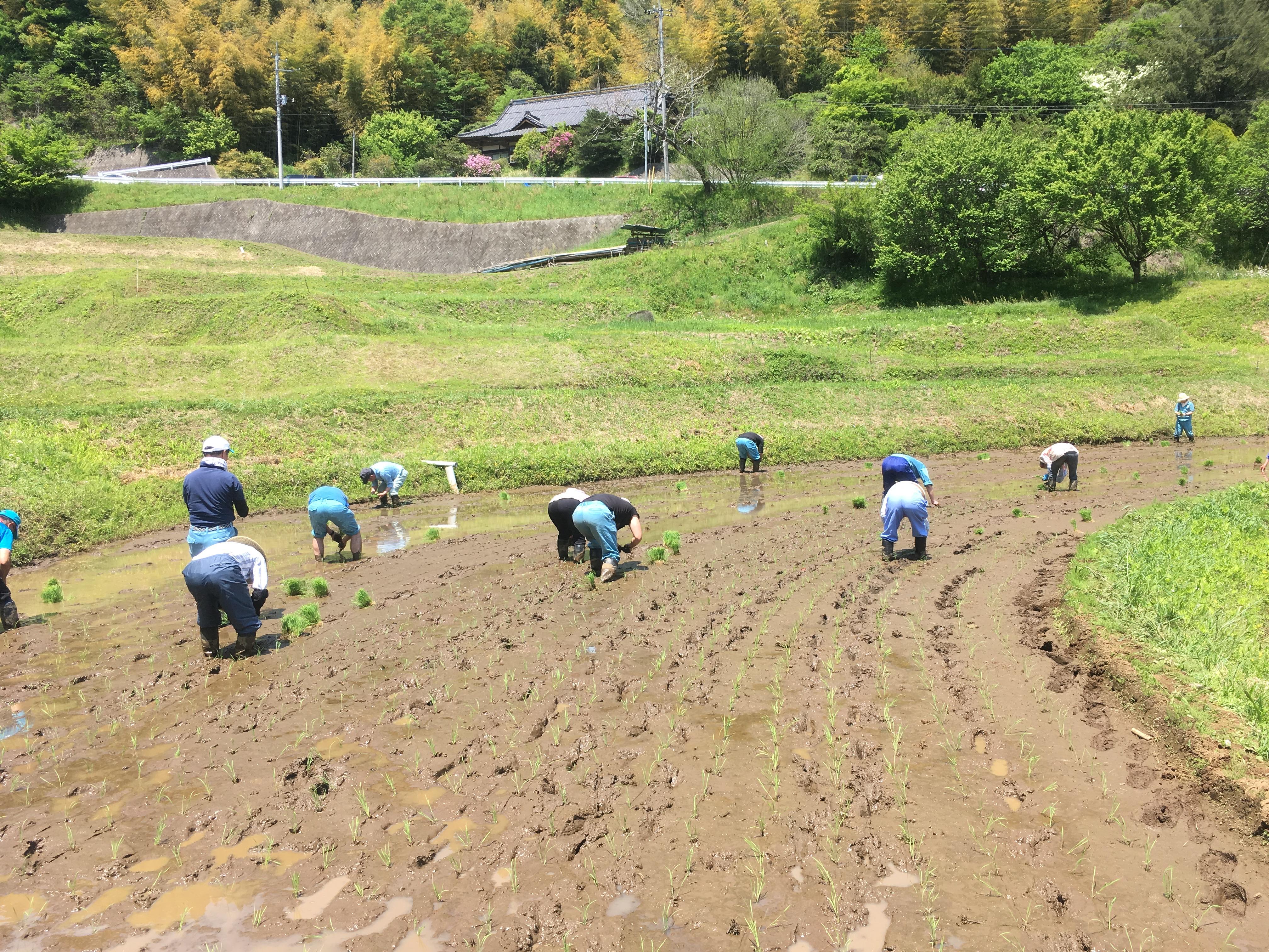 整然と一列に植えられた稲